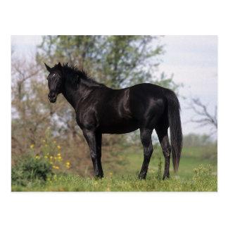 Thoroughbred-Pferd stehend Postkarte