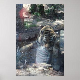 Tiger-Bild Poster
