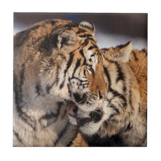 Tiger, die Zuneigung zeigen Keramikfliese