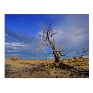 Toter Baum des Kamel-Dornen-(Akazie Erioloba) Postkarte