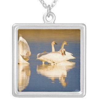 Trompetersschwanfamilie im letzten Licht in Teich Versilberte Kette