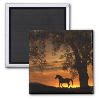 Trottenpferd im Sonnenuntergang-Magneten Quadratischer Magnet