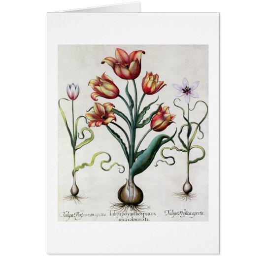 Tulipa Perfica nicht aperta, Tulipa Polyanthos Grußkarte