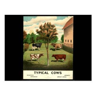 Typische Kühe Postkarte