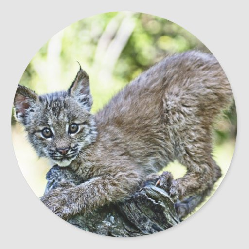 Un chaton espiègle de Lynx de Canadien Adhésif Rond