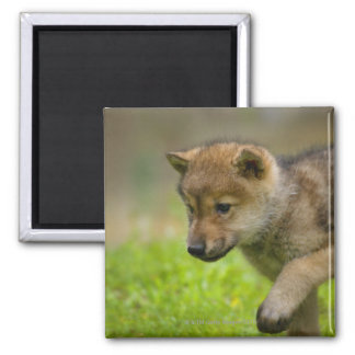 Un loup de bébé magnet carré