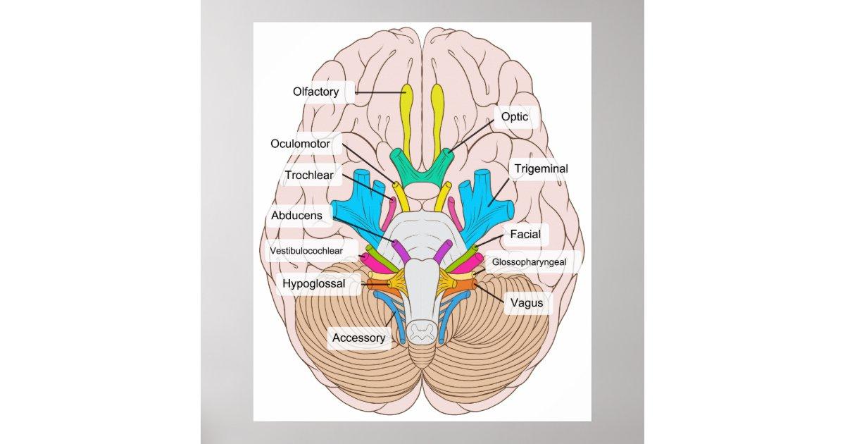 Ziemlich Nerven Diagramm Fotos - Menschliche Anatomie Bilder ...