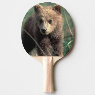 USA, Alaska, Denali Nationalpark, Graubär Tischtennis Schläger