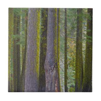 USA, Kalifornien. Moos bedeckte Baum-Stämme Kleine Quadratische Fliese