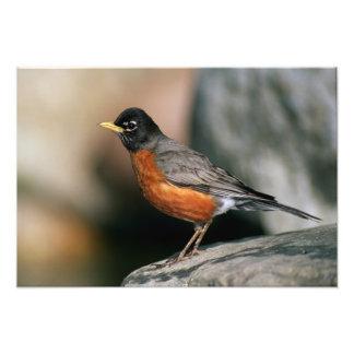 USA, Minnesota, Mendota Höhen, männlicher Robin Fotografien
