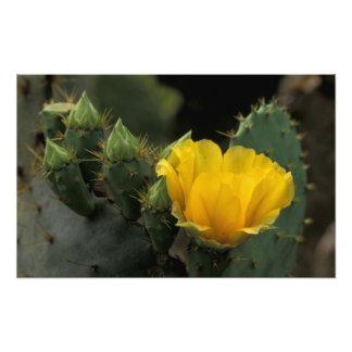 USA, Texas, Kaktusfeige-Kaktus in der Blüte Kunst Fotos