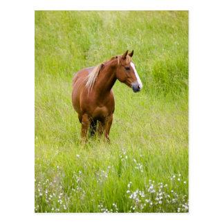 USA, Washington, Pferdeim Frühjahr Feld, Postkarte