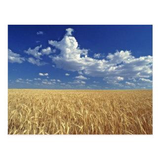 USA, Washington-Staat, Colfax. Reifer Weizen Postkarte