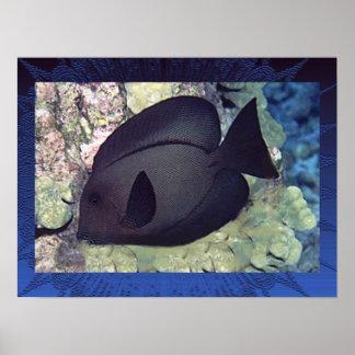 Utenochaetus Hawaiiensis Plakat