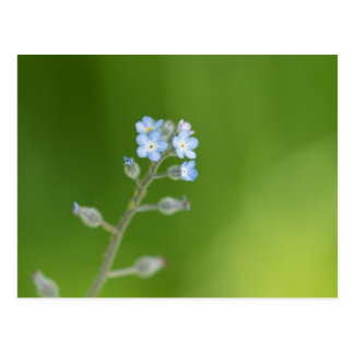Vergissmeinnicht-Blumen Postkarte