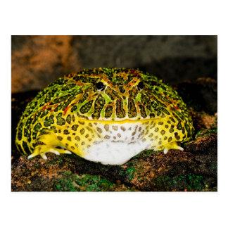 Verzierter Horn-Frosch, Ceratophrys ornata, Postkarte