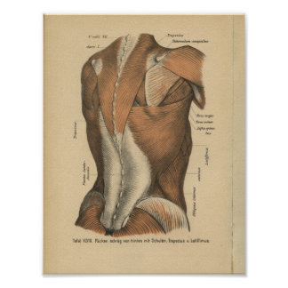 Vintage 1888 Deutsch-Anatomie-Druck-Rückenmuskel Poster