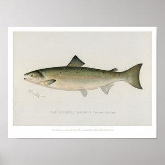 Vintage Fische - atlantische Lachse Poster