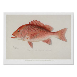 Vintage Fische - rote Snapper Poster
