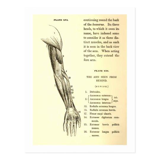 Vintage Muskeln der Anatomie-| des Armes (circa Postkarte | Zazzle.ch
