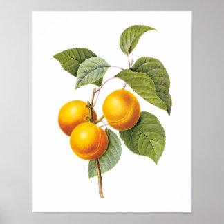 Vintage Nahrungsmittelfrucht, Aprikosen-Pfirsich Poster