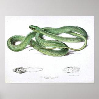 Vintage Schlange Gezeichnete-Grün-Afrikanisch Poster