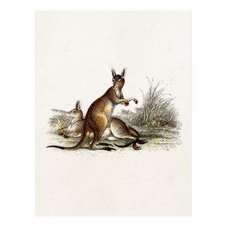 Vintager 1800s großes Grau-Känguru - Kängurus Postkarte