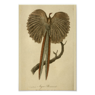 Vintager Argus-Fasan-Naturgeschichte-Druck-Vogel Poster