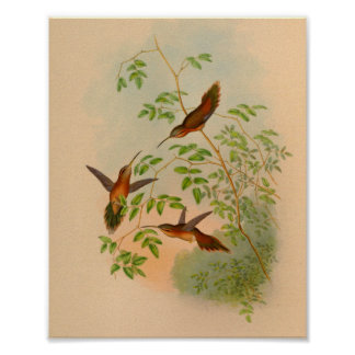 Vintager Einsiedler-Kolibri-Druck 1861 Poster