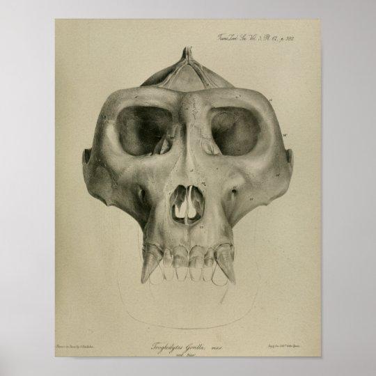 Vintager Gorilla-Schädel-Anatomie-Druck-Tierarzt Poster | Zazzle.ch