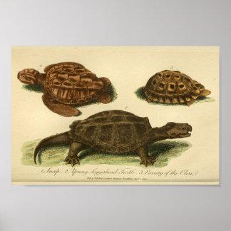 Vintager Schildkröte-Naturgeschichte-Druck Poster
