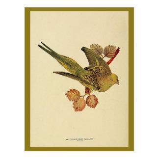 Vintages australisches Gras Parrakeet-FarbFoto Postkarte