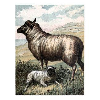 Vintages Zeichnen: Blackhead-Perser-Schafe Postkarte