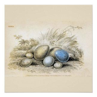 Vogel-Ei-Blau und Brown personifizieren die Größe Poster
