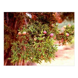 Wacholderbusch-Baum Postkarte