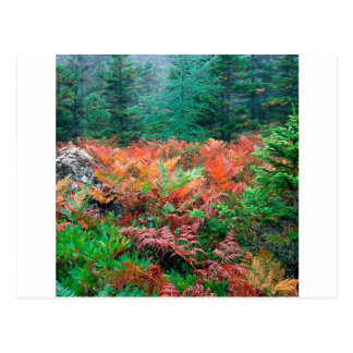 Waldbunte Farne in HerbstAcadia Maine Postkarte