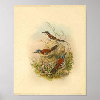 Wallaces Todopsis Zaunkönig-Brown-Vogel-Vintager Poster