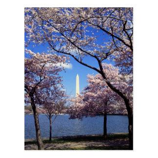 Washington-Monument durch Kirschblüten Postkarte