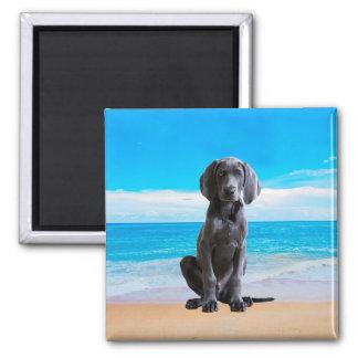Weimaraner Hund, der auf Strand sitzt Quadratischer Magnet
