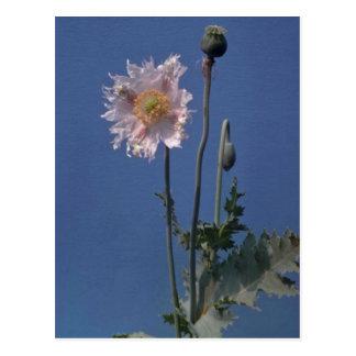 weiße Blumen des Schlafmohns (Papaver-Somniferum) Postkarte
