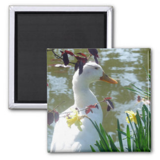 Weiße Ente in den Narzissen Quadratischer Magnet