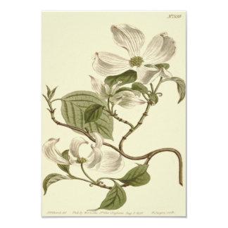 Weiße Hartriegel-Blumen-Illustration Karte