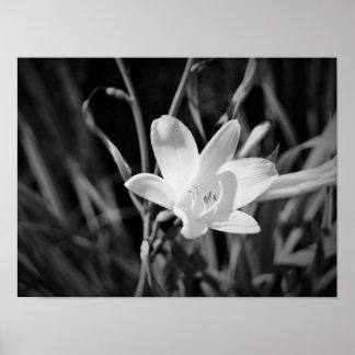Weiße Lilie Poster