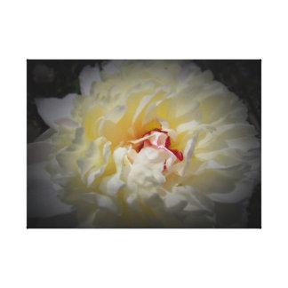 Weiße Pfingstrose mit schwarzem Hintergrund auf Leinwanddruck