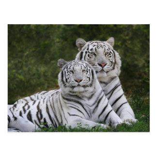 Weiße Phase, bengalischer Tiger, der Tigris Postkarte