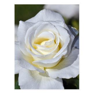 Weiße Rosenblüten des Singles Postkarte