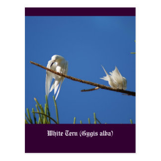 Weiße Seeschwalben Postkarte