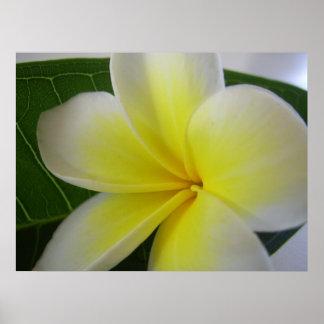 Weiße und gelbe Frangipani-Blume Poster