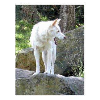 Weißer Dingo Postkarte