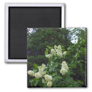 Weißer Fliederbusch und Kiefer Quadratischer Magnet
